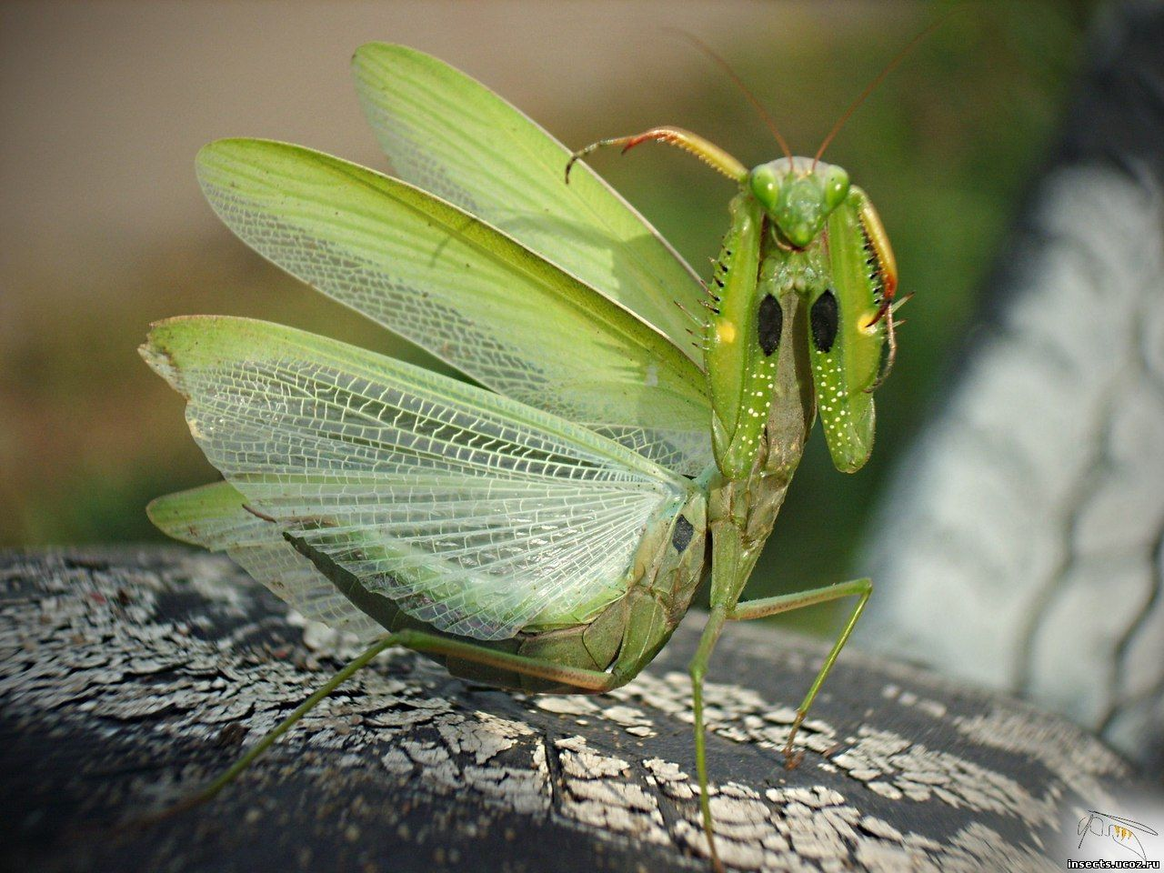 Богомол обыкновенный - Mantis religiosa