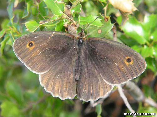 Воловий глаз бабочка