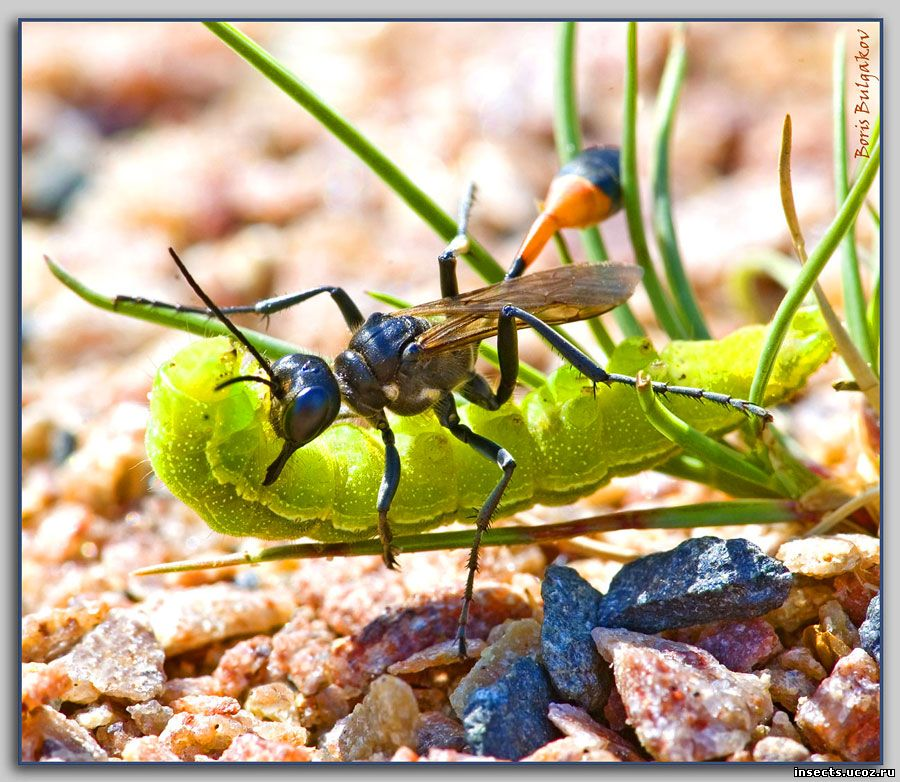 Украсть добычу осы