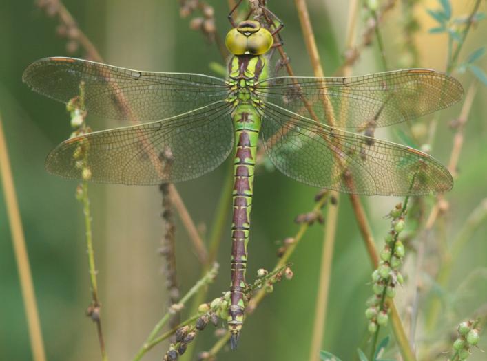 Зеленое коромысло стрекоза