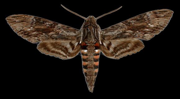 Бражник вьюнковый бабочка