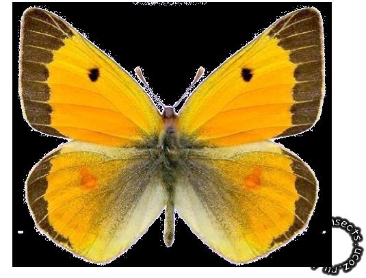 Золотистая желтушка бабочка