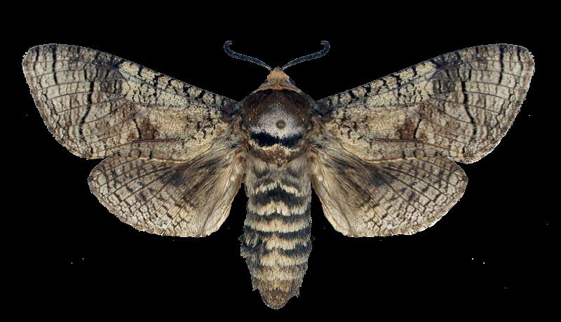 ночные бабочки крупные
