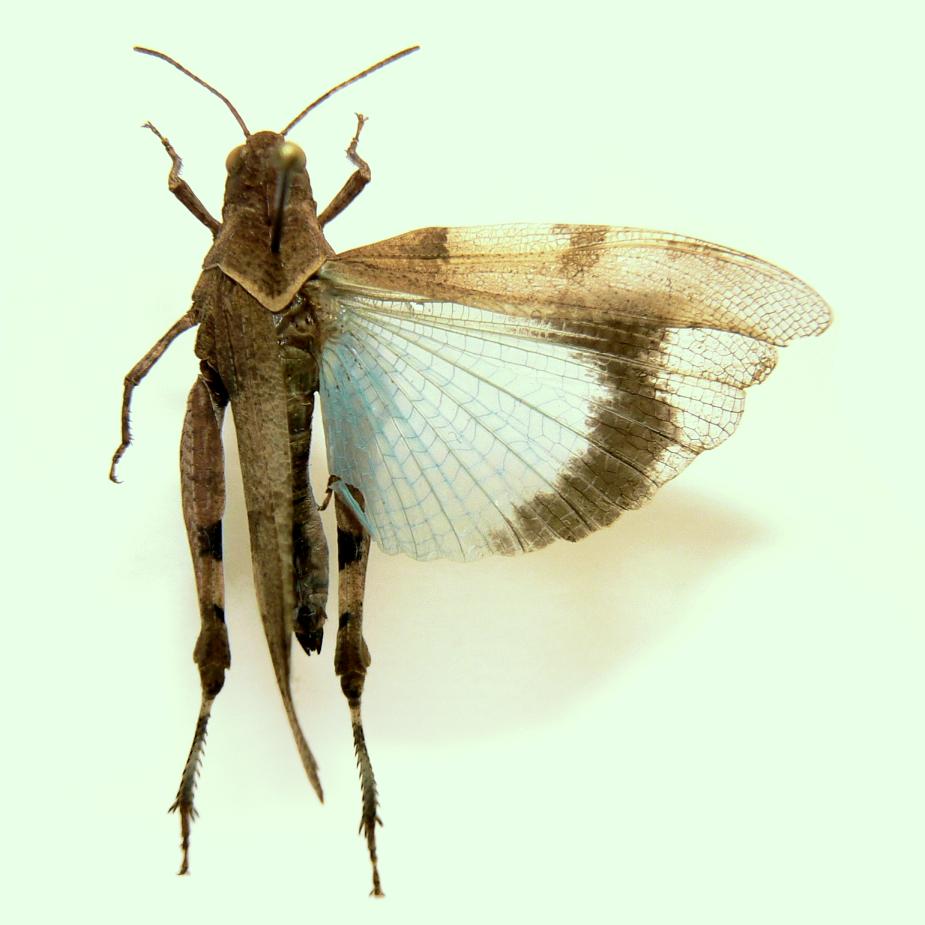 Кобылка синекрылая