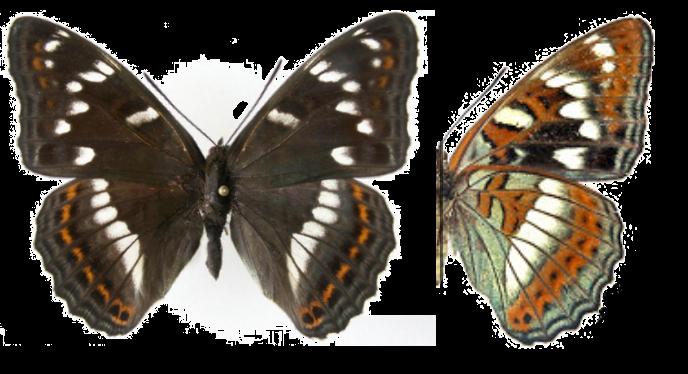 Ленточник тополевый бабочка