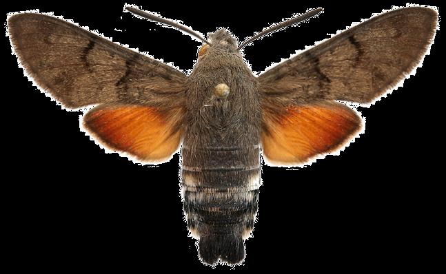 Языкан обыкновенный бабочка