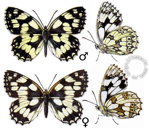 Пестроглазка галатея бабочка