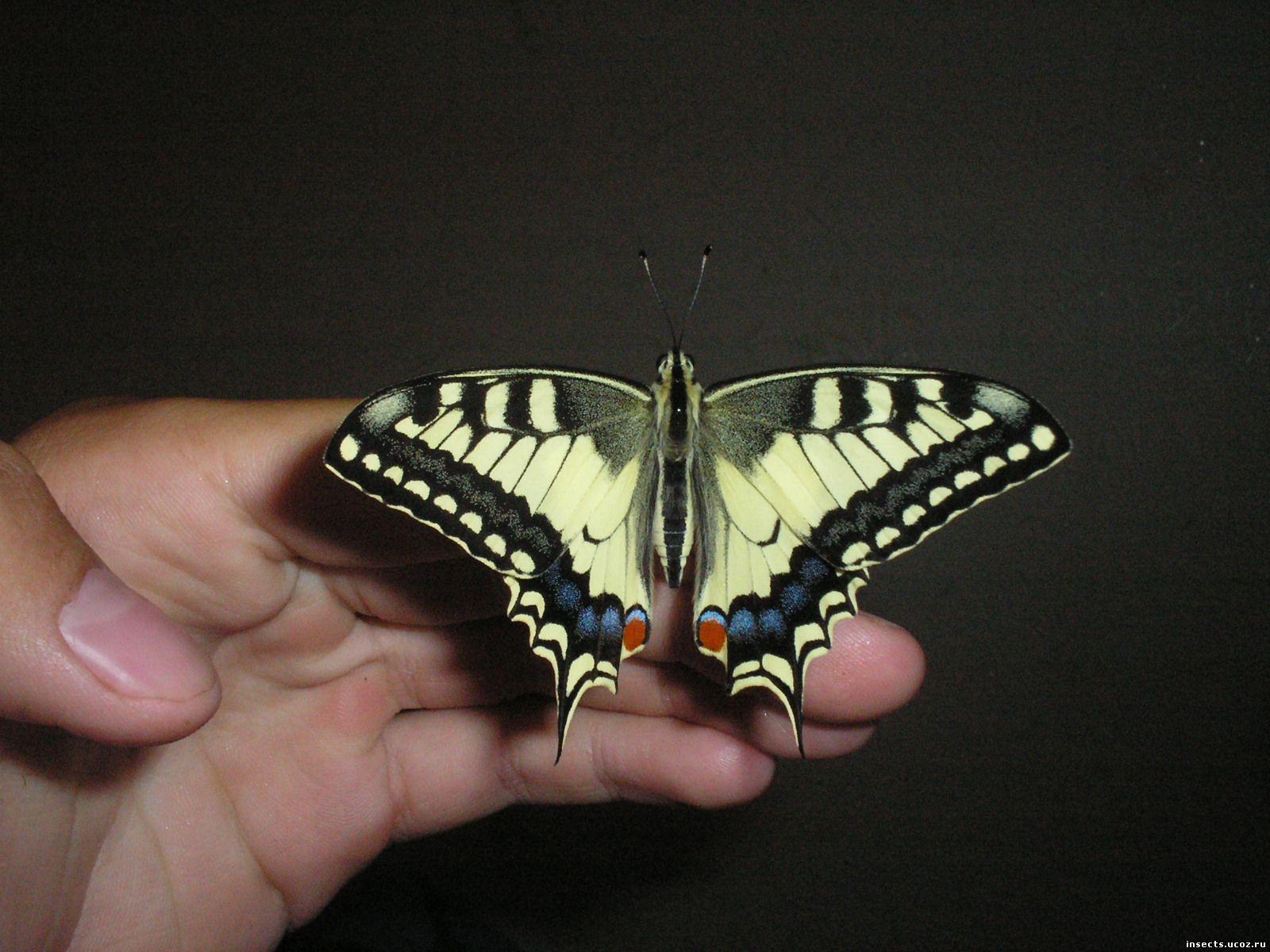 Махаон обыкновенный бабочка