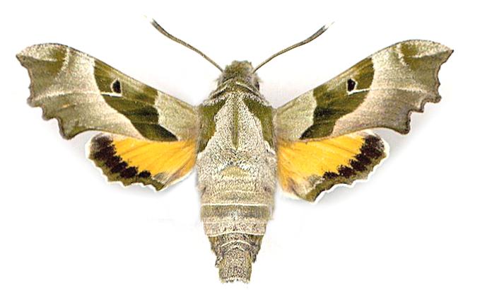 Прозерпина бабочка