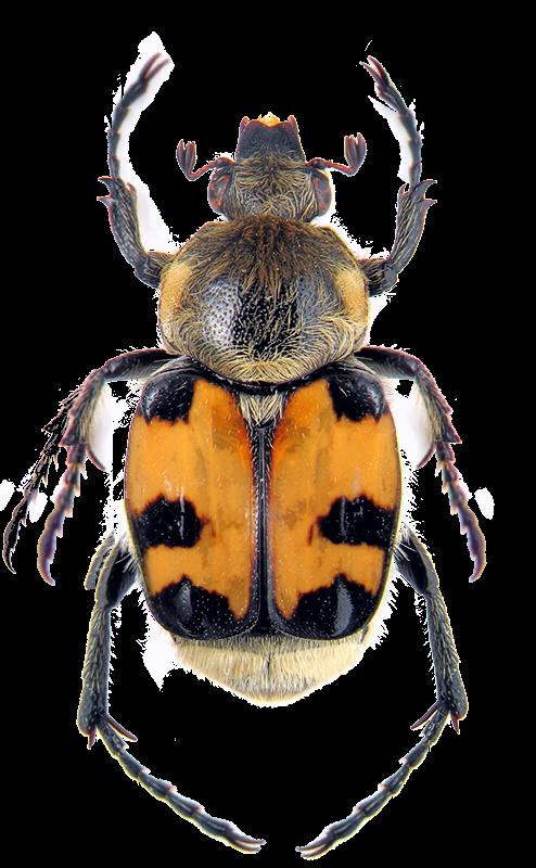 Перевязанный восковик - жук