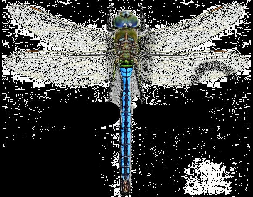 Дозорщик император стрекоза