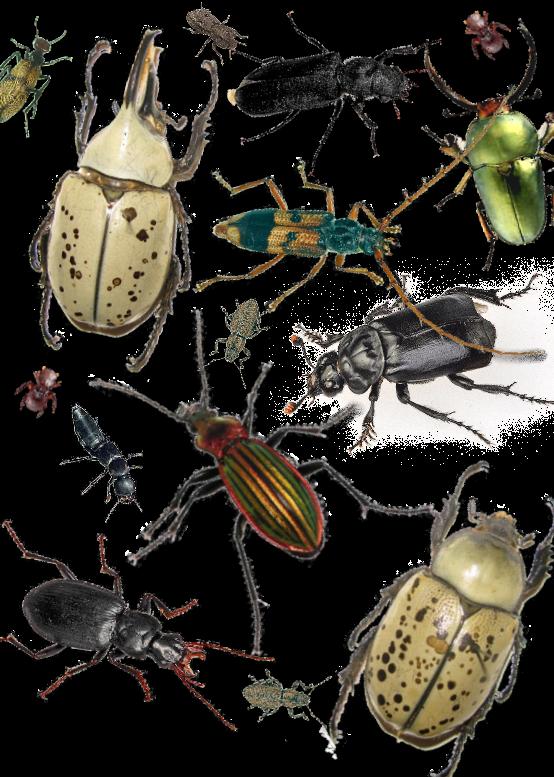 Http insects ucoz ru publ o nasekomykh zhestkokrylye 3 1 0 45