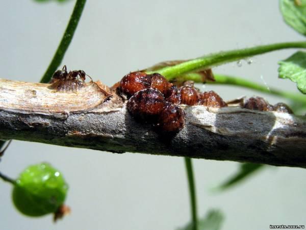 муравей и ложнощитовки